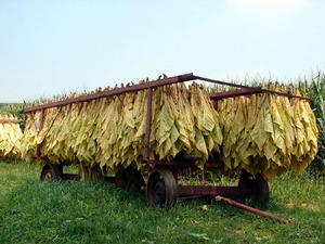http://img.zzweb.ru/img/743714/sun-cured-tobacco.jpg