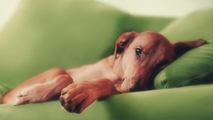 http://img.zzweb.ru/img/762636/the-dog-on-the-sofa.jpg