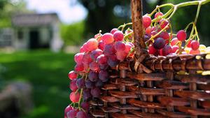 http://img.zzweb.ru/img/791101/grape.jpg