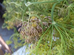 http://img.zzweb.ru/img/802958/semena-ukropa.jpg