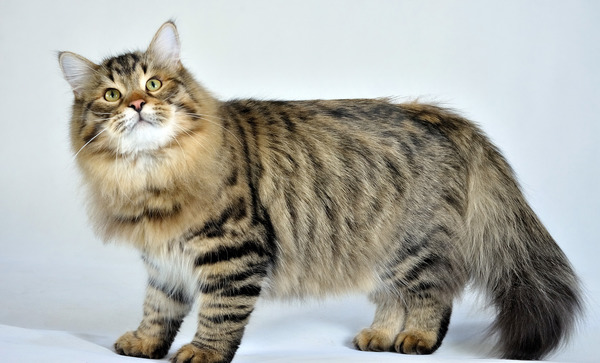 http://img.zzweb.ru/img/888587/siberian-cat1.jpg